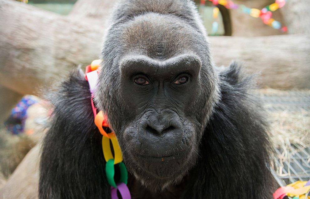 56-летняя горилла Кола