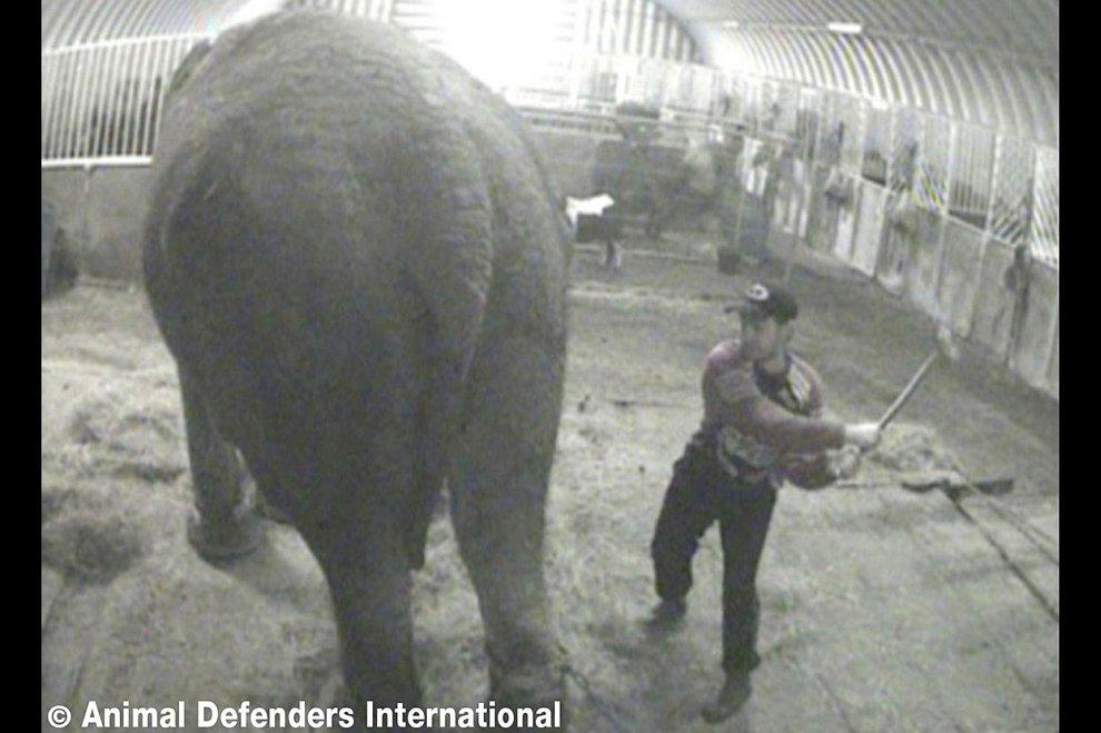 Обслуживающий персонал цирка в Лондоне избивал палкой 59-летнюю слониху Анну