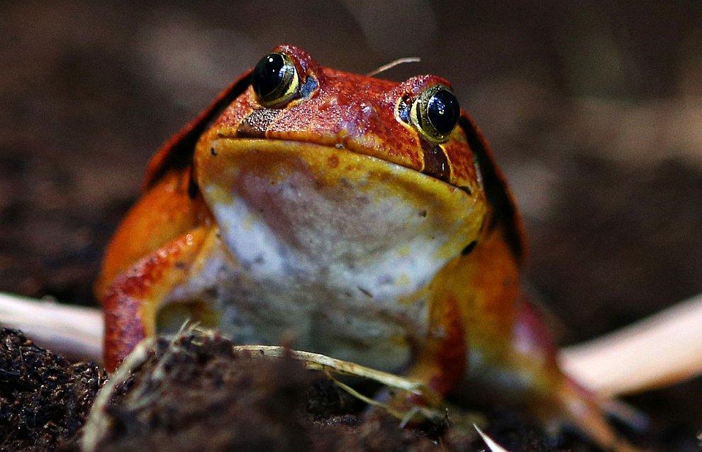 Необычная лягушка-помидор