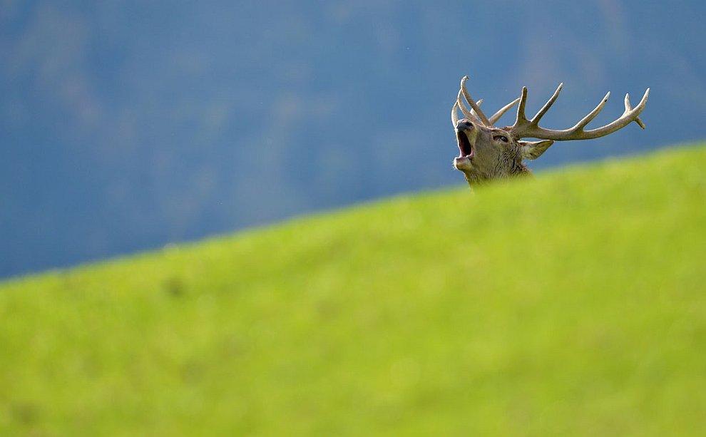 Гон у оленей в австрийской провинции Тироль