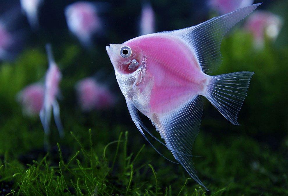 Светящаяся в аквариуме скалярия