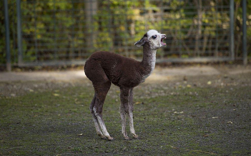 Новорожденных альпака по имени Цыган
