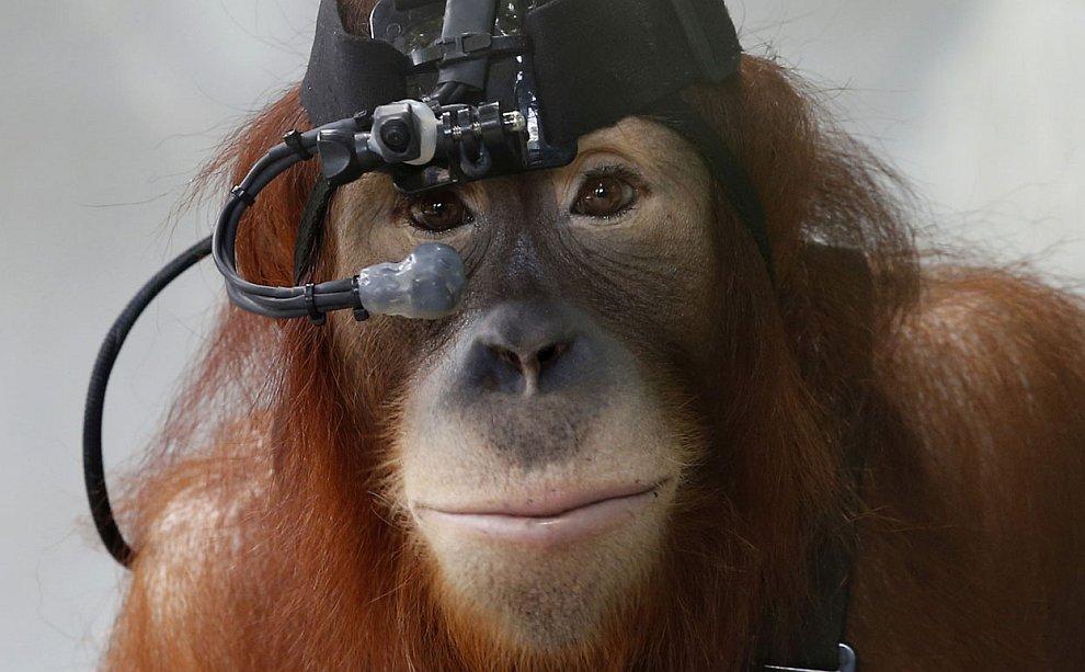 Ученые-неврологи работают с орангутангом