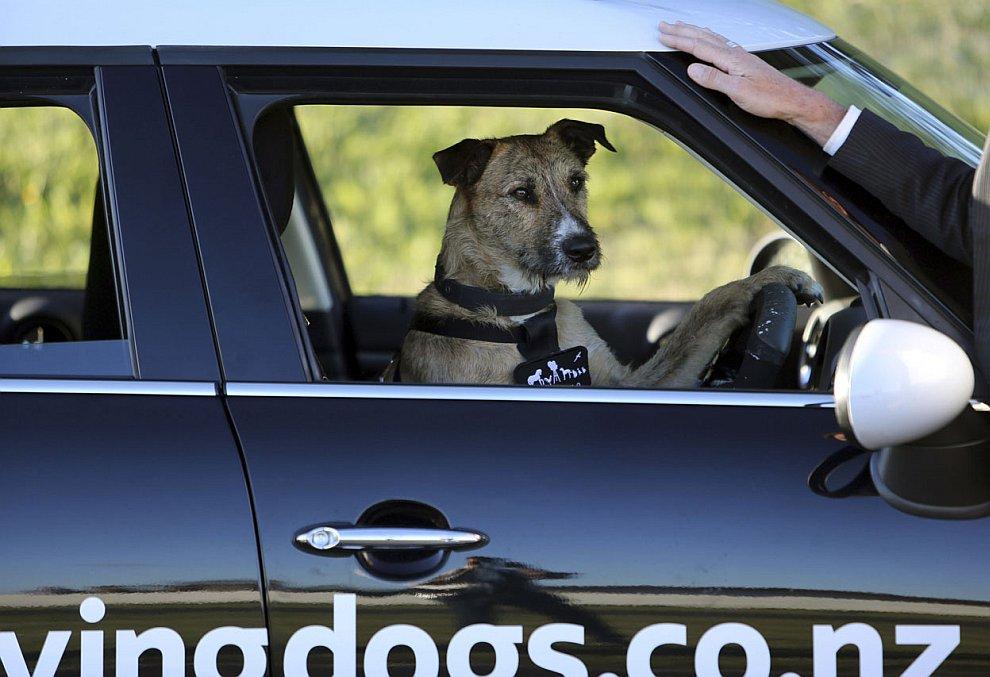 Общество защиты животных из Окленда (Новая Зеландия) учит собак водить автомобили