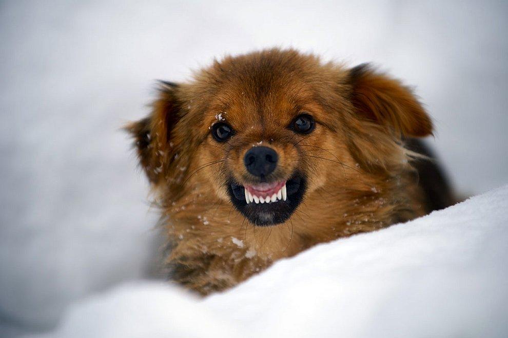 Недовольная собака на горе Ртань в сербских Карпатах