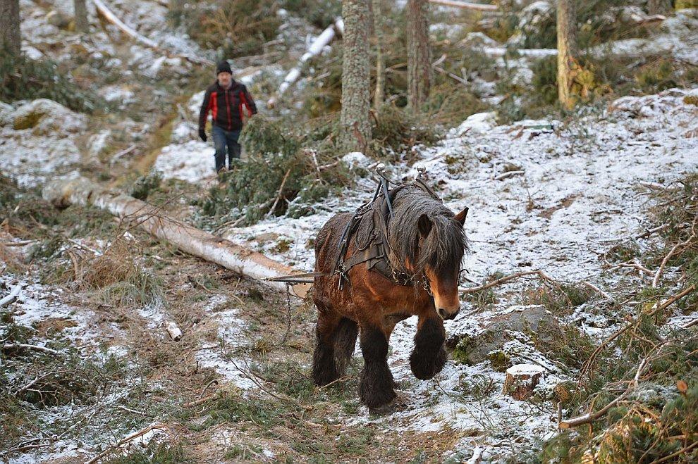 Лошадь-тягач из Шотландии