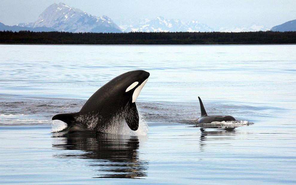 Косатка из семейства дельфиновых