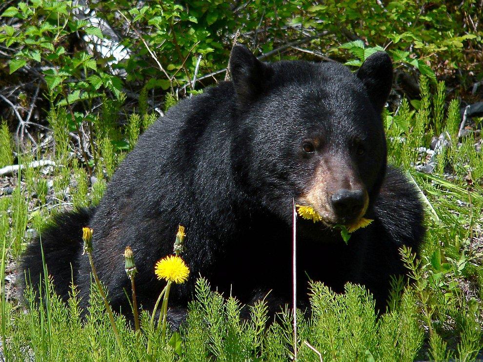 Барибал, или чёрный медведь