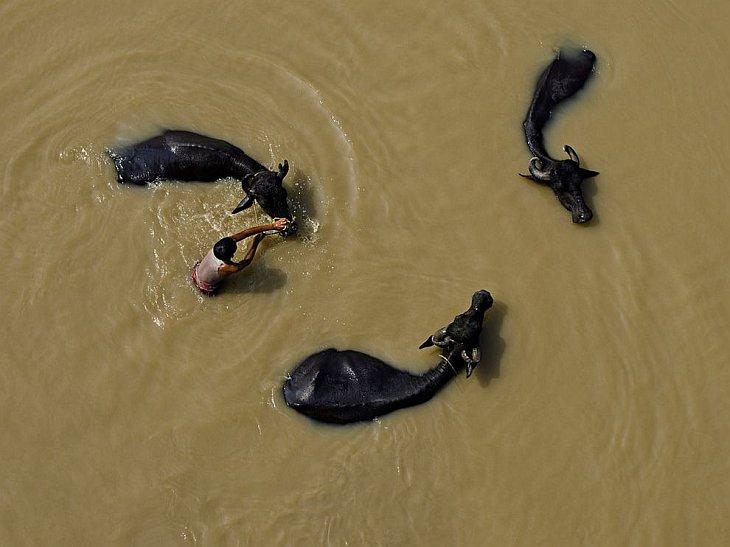 Мальчик моет трех буйволов в реке