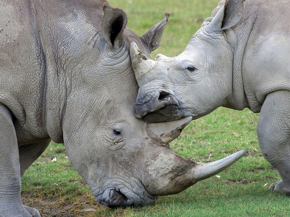 Семья носорогов в Национальном парке Озеро Накуру