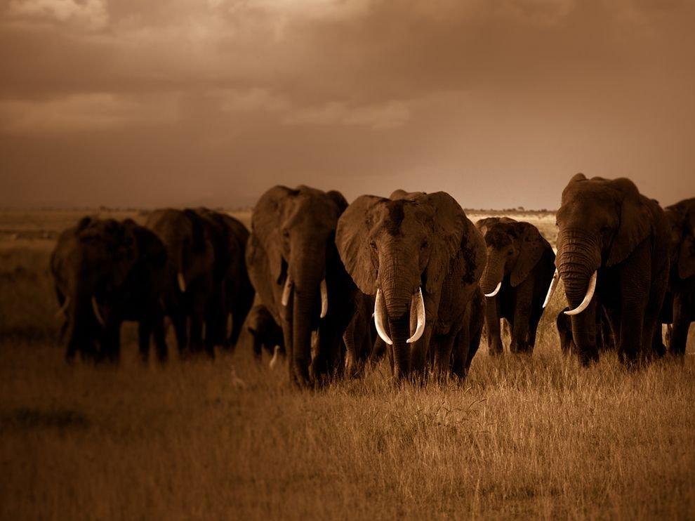 Стадо слонов, Кения