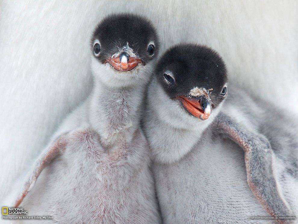 Только что вылупившиеся пингвинчики впервые смотрят на окружающий мир