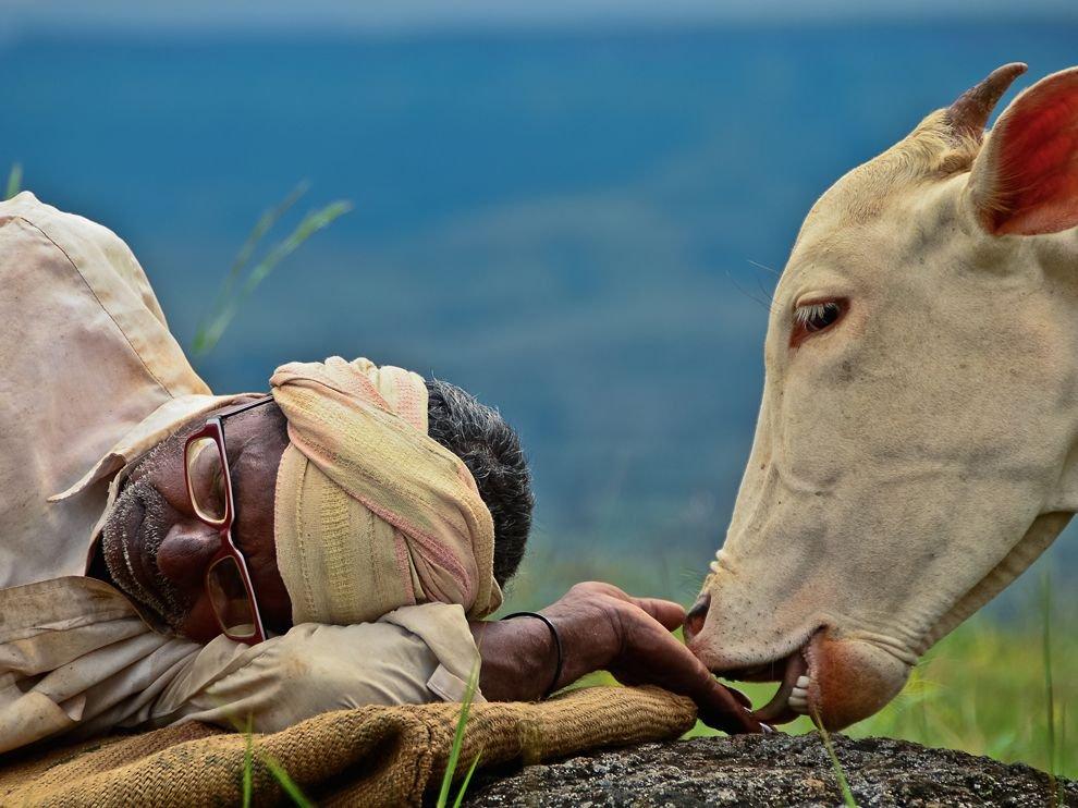 Спящий пастух и его корова, Индия
