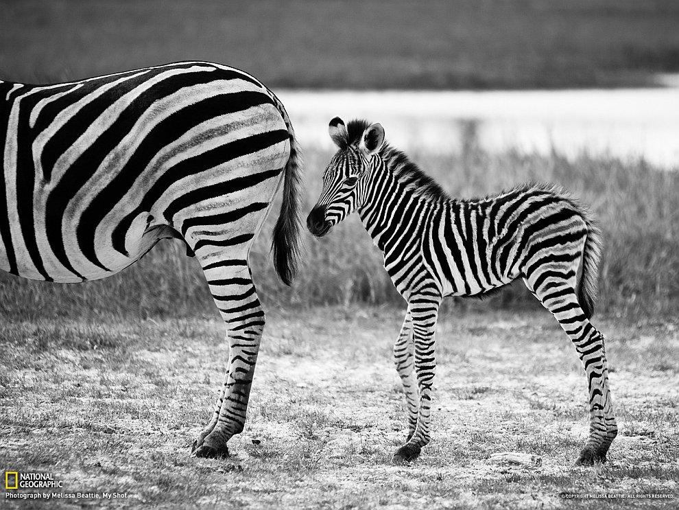Мама-зебра и маленький жеребенок, Ботсвана