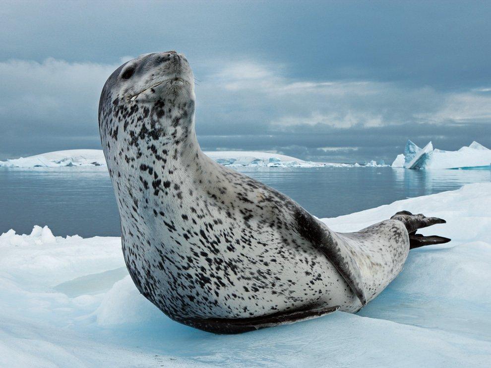 Морской леопард, Антарктика