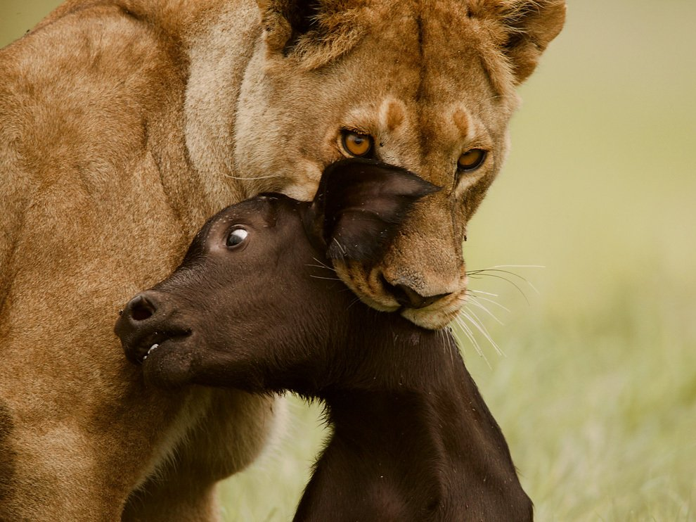 Львица и теленок, Ботсвана