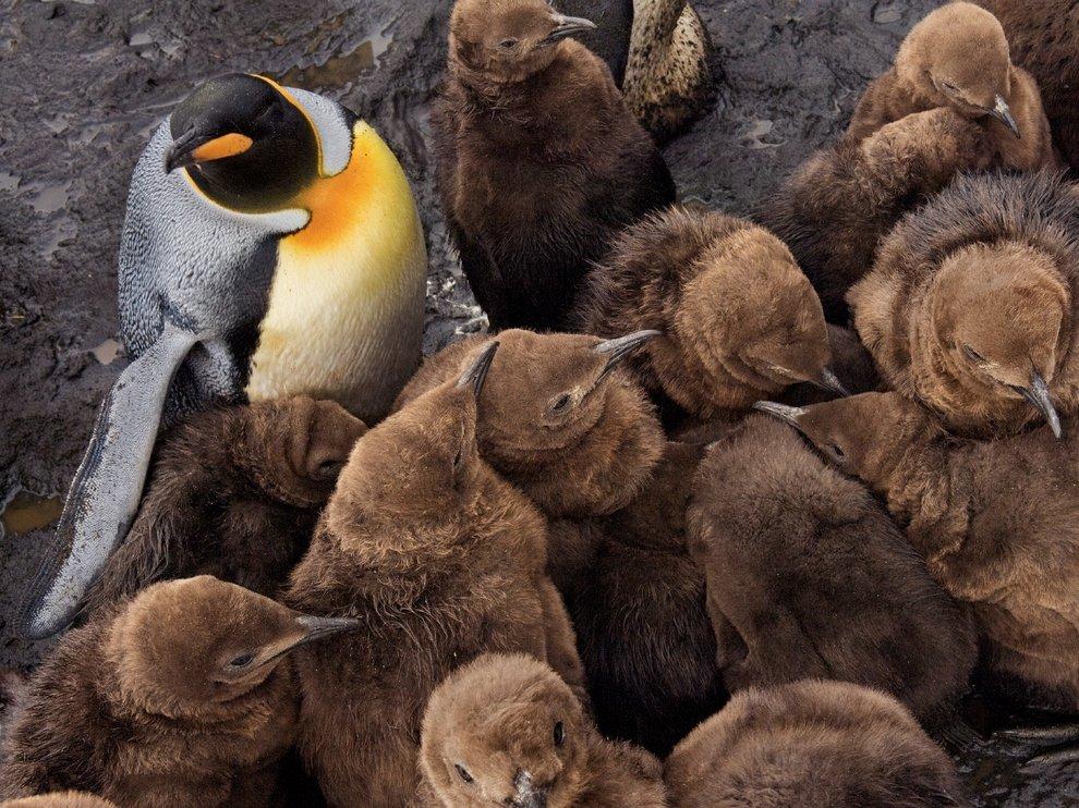 Птенцы королевских пингвинов