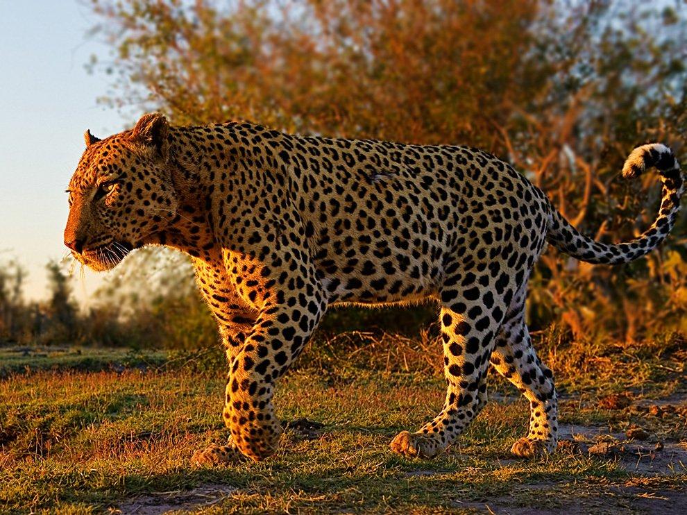 Леопард, Ботсвана