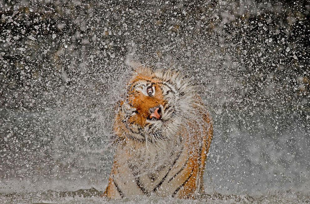 Тигрица в зоопарке Таиланда после выходя из бассейна
