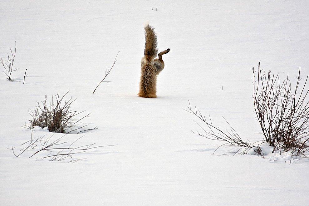 Рыжая лисица охотится на мышей