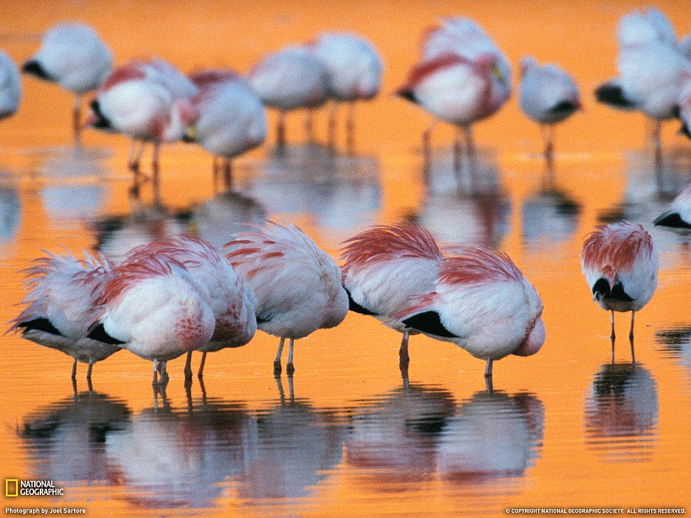 Мигрирующие фламинго