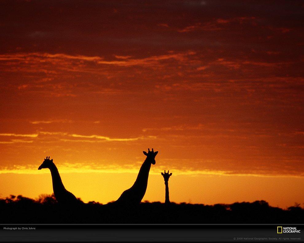 Жирафы в Ботсване