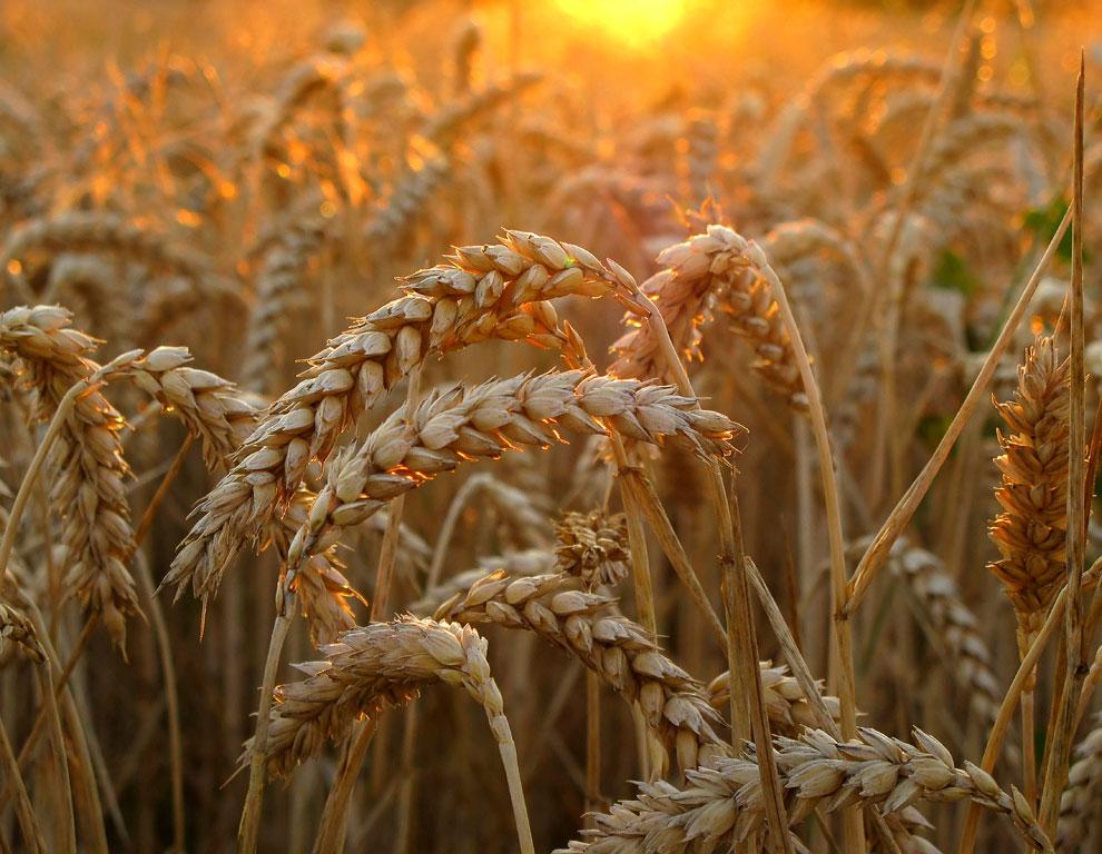Пшеничное поле в золотом свете