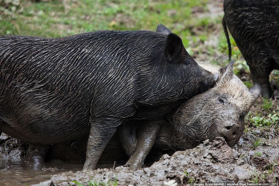 Корпоратив по-свински