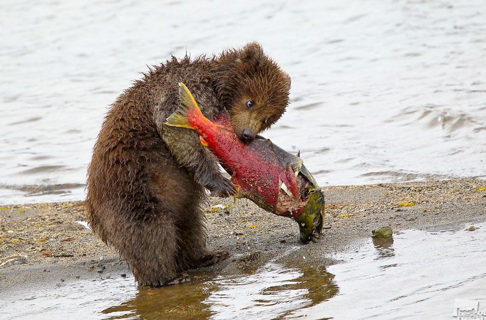 Медвежонок отобрал большого лосося у мамы и убежав от братьев принялся за трапезу…