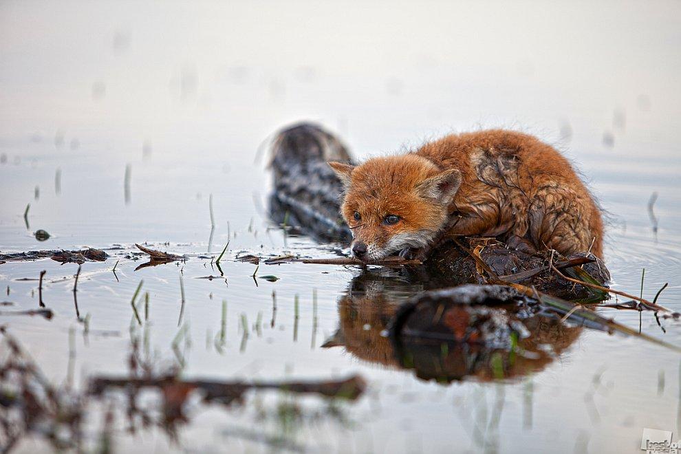 Разлив затопил лисью нору на островке, и лисёнок, забежав в воду, устроился на плавающем бревне