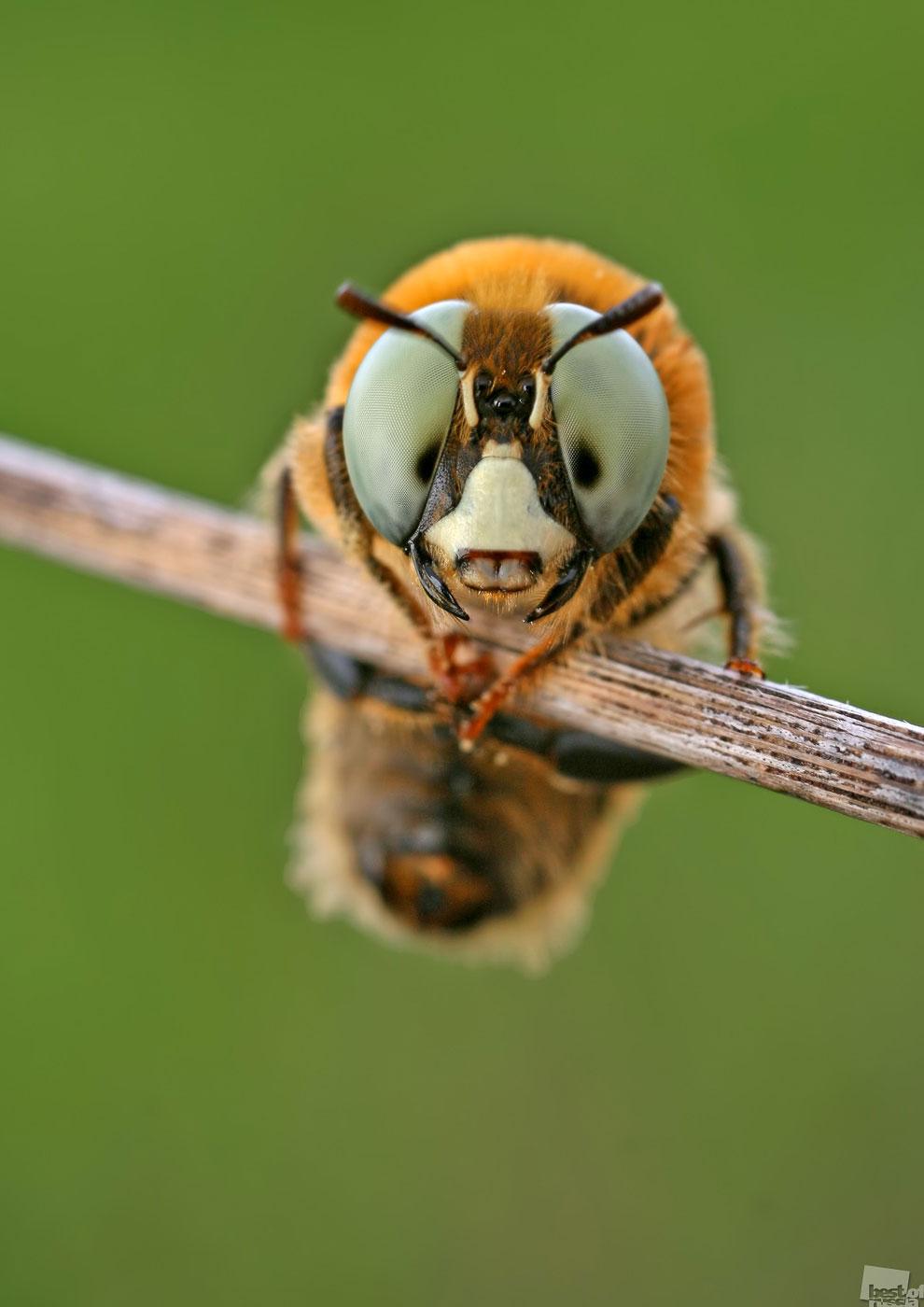 Пчела булавоусая мелиттурга