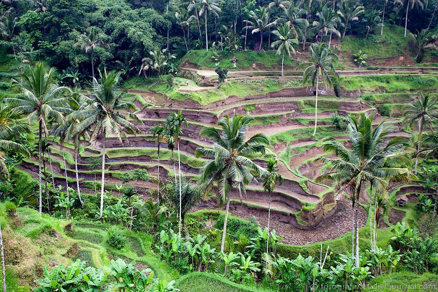 Рисовые поля на Бали