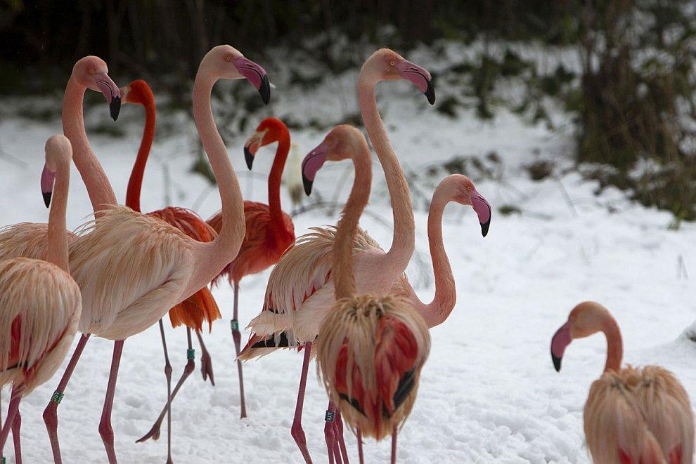 Фламинго в снегу в зоопарке в Иерусалиме