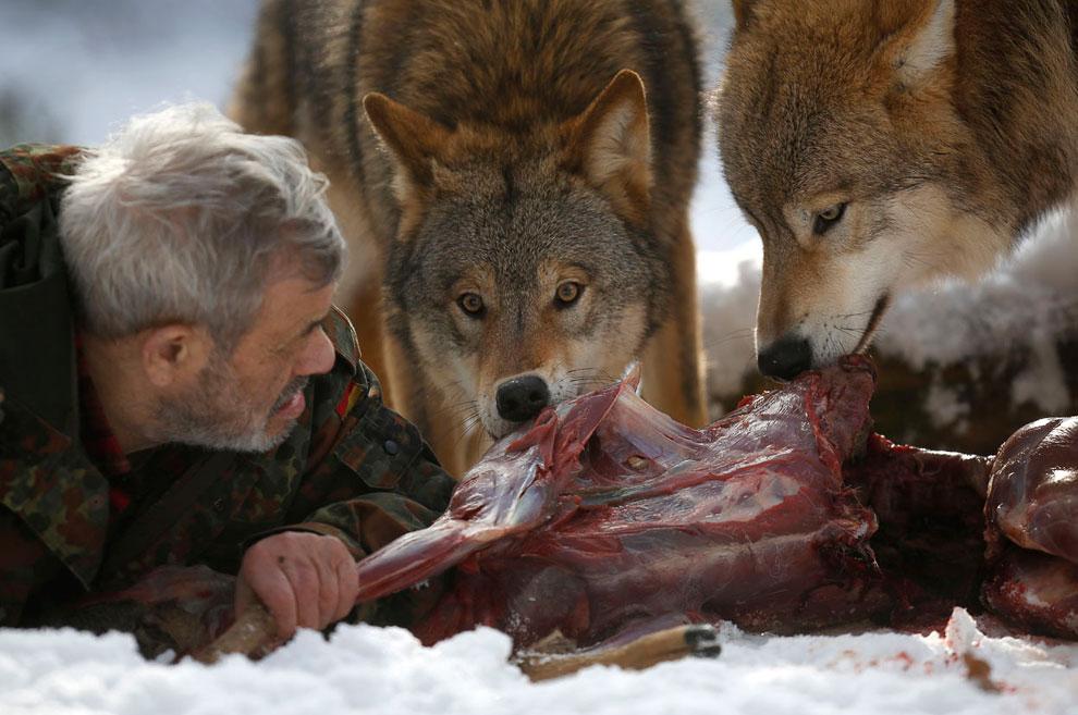 Кормим олениной монгольских волков