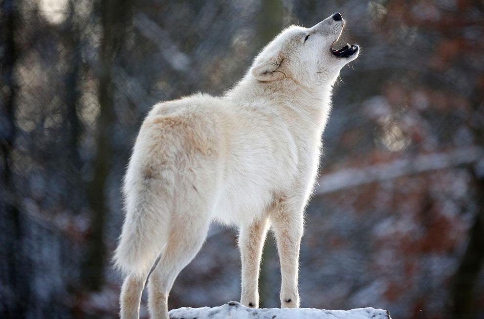 Вести себя как волк и жить в стае