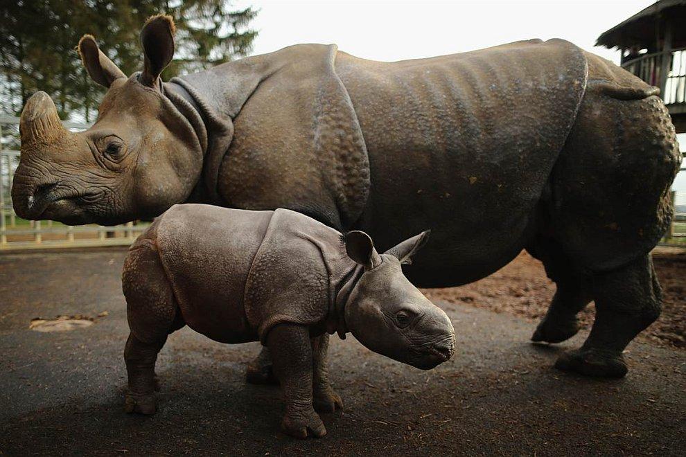 4-недельный носорожек с матерью в зоопарке города Dunstable, Англия