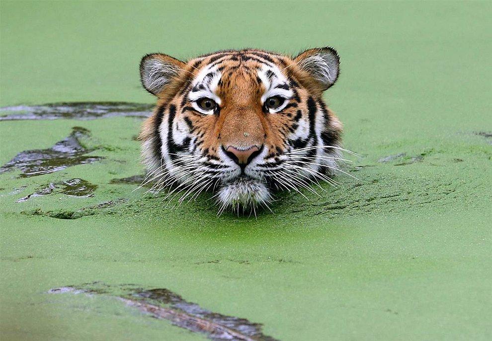 Амурский тигр плавает в бассейне в зоопарке в Дуйсбурге, Германия