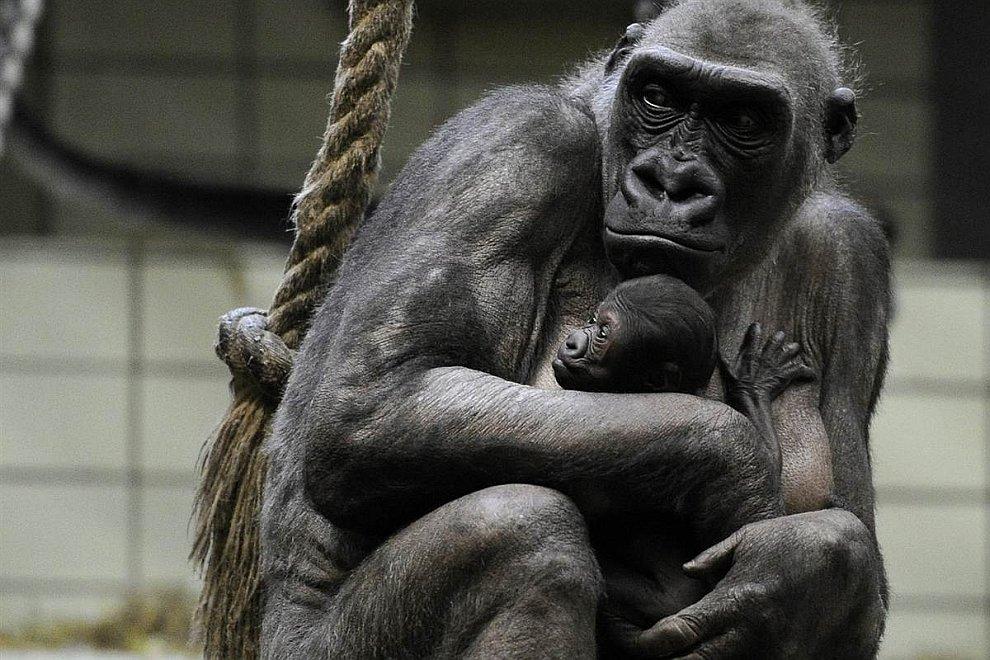 Семья горилл в зоопарке в Мюнстере, Германия