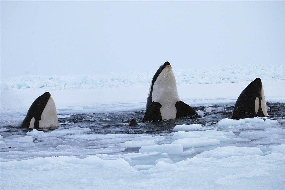 Три касатки отдыхают среди льдов льду Гудзонова залива, провинция Квебек