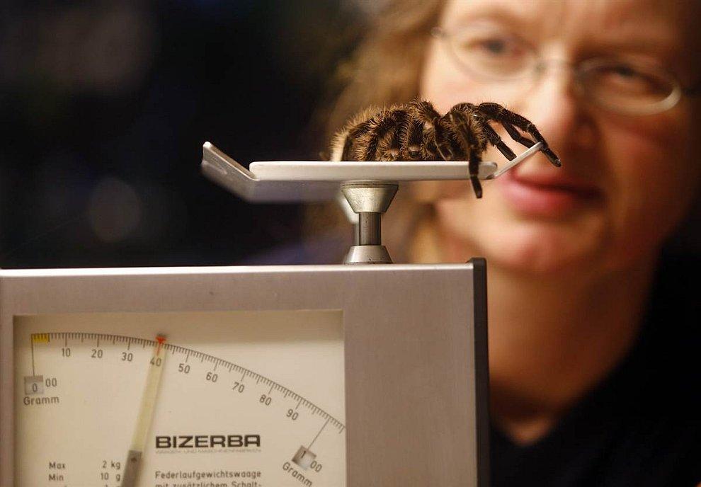 В зоопарке Мюнхена идет инвентаризация животных. Паук-птицеед весит ровно 40 грамм