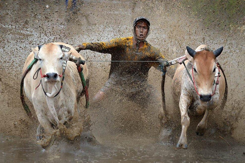 Гонки на быках
