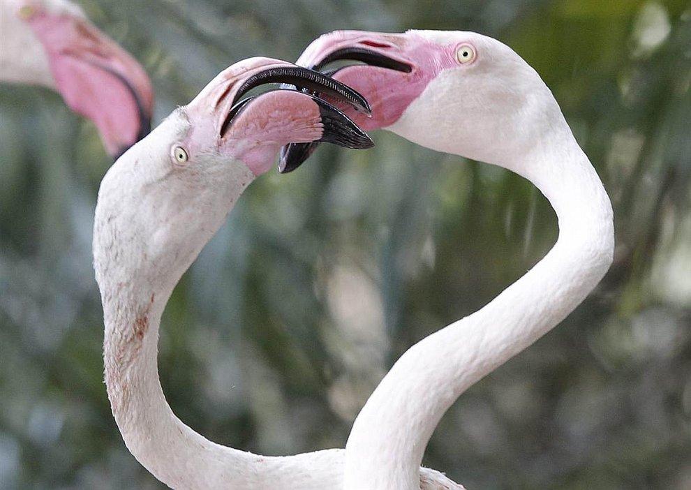 Фламинго выясняют отношения в зоопарке Йоханнесбурга в Южной Африке