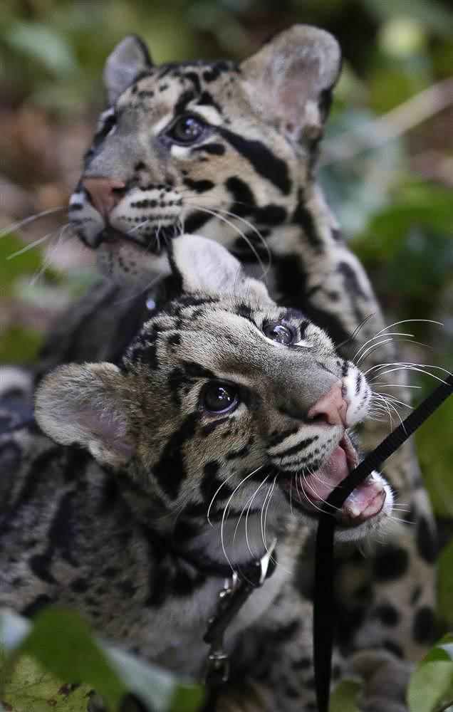 Детеныши дымчатого леопарда, брат и сестра резвятся в зоопарке Сан-Диего в Калифорнии