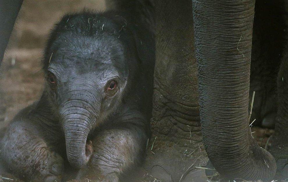 Новорожденный слоненок немного устал от игр. Ему всего 1 день. Зоопарк в Честере, Англия