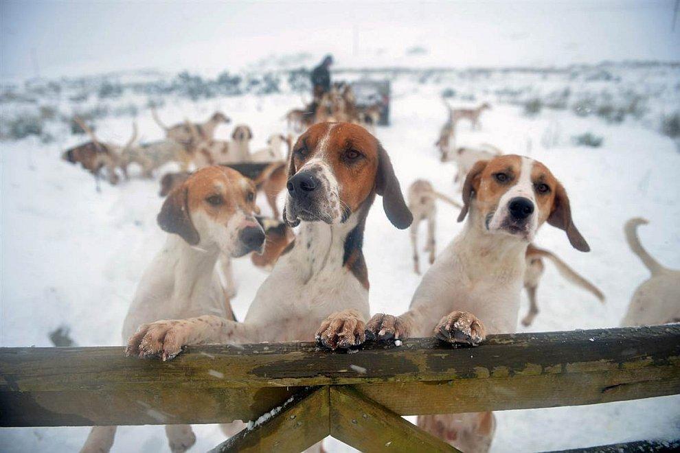 Охотничьи собаки во время соревнований Шотландии