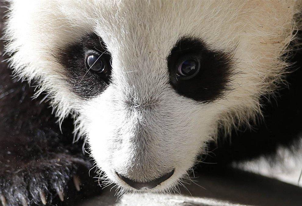 2-недельный детеныш панды в зоопарке Сан-Диего в Калифорнии