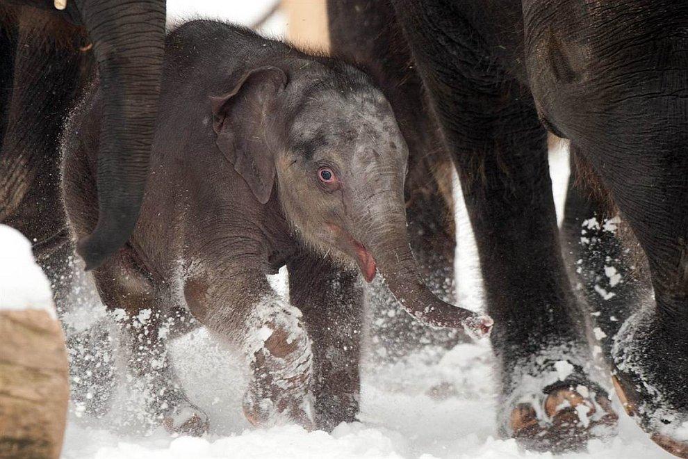 4-недельных слоненок со своим семейством в зоопарке Ганновера, Германия