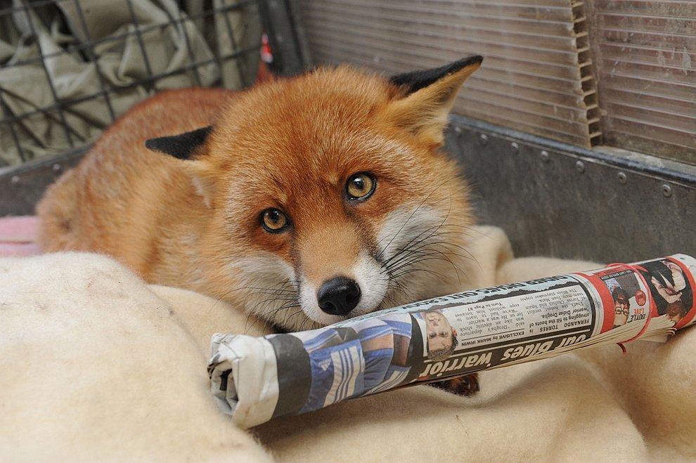 Домашние лисицы, что они любят, и как за ними ухаживать
