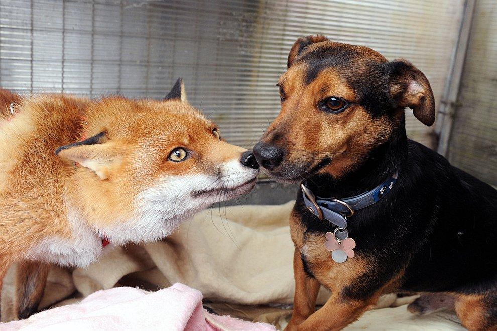 Необычное домашнее животное: лича ведет себя, как собака