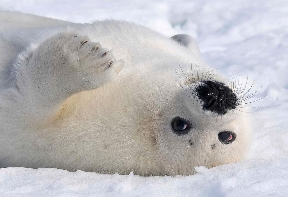 Сосет тюленям